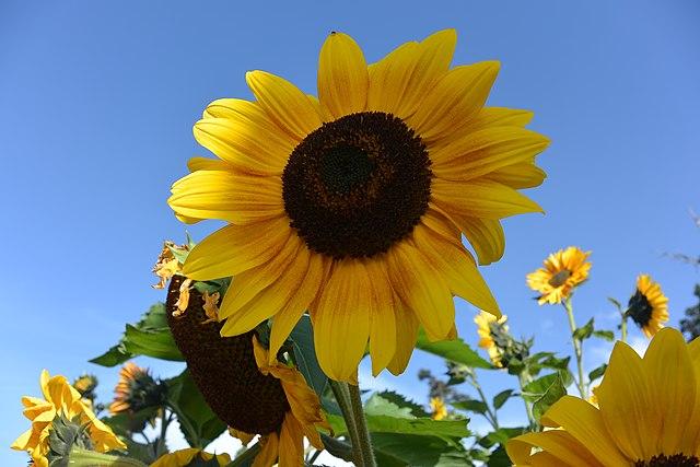 640px-Sunflower_in_Sri_Lanka