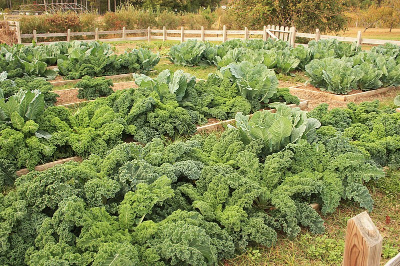 800px-Kale_and_Cabbage_in_Raised_Garden_Beds_(49200262267)