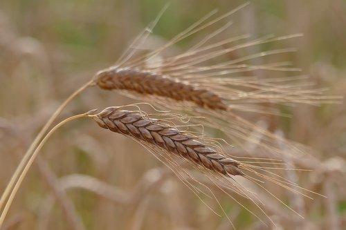 barley-4354846_1280